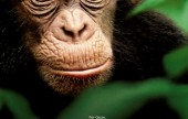 Disney Chimpanzee copy