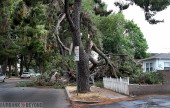 Crazy weather leaves rain and tree damage in Burbank. (Photo by Ross A. Benson)