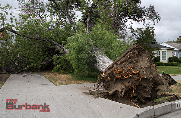 There is a house and a car somewhere under this parkway Ash tree that fell in the 3400 Blk Clark Street on Sunday afternoon. (Photo by Ross A. Benson)