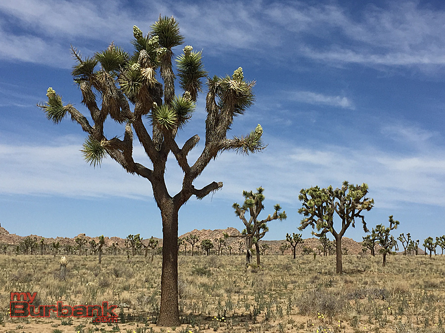 Joshua Tree National Park. (Photo By Lisa Paredes)