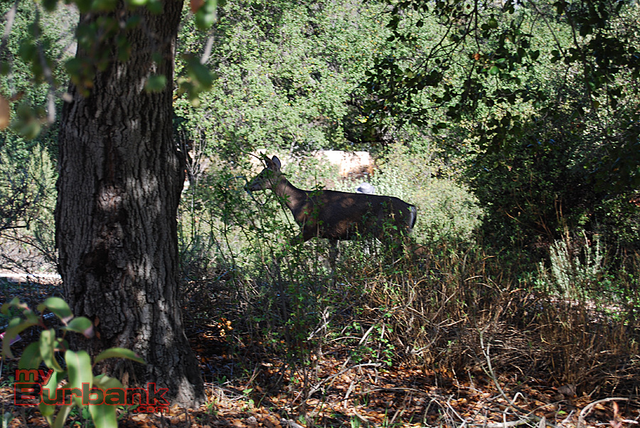 A black-tailed deer picks its way though brush in Descanso Gardens. (Photo By Lisa Paredes)