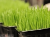 Wheatgrass Anyone?