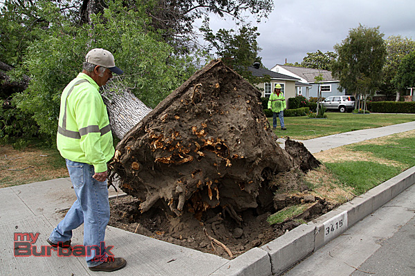 Burbank Forestry Sr. Tree Trimmer Baudelio Loera checks out the base of this Ash tree that fell Sunday afternoon. (Photo by Ross A. Benson)