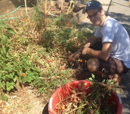 Jay Jennings picks tomatoes in 100 degree temps. (Photo Courtesy of Kristen Jennings)