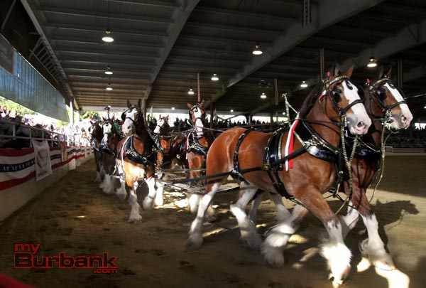 The World Famous Budweiser Clydesdales were on hand for the standing room only crowd at this years Equestrian Festival held at The Los Angeles Equestrian Center Sunday afternoon. During this years parade the world famous horses and crew will be transporting Tournament of Roses President R. Scott Jenkins and his family down the parade route. (Photo by Ross A. Benson)