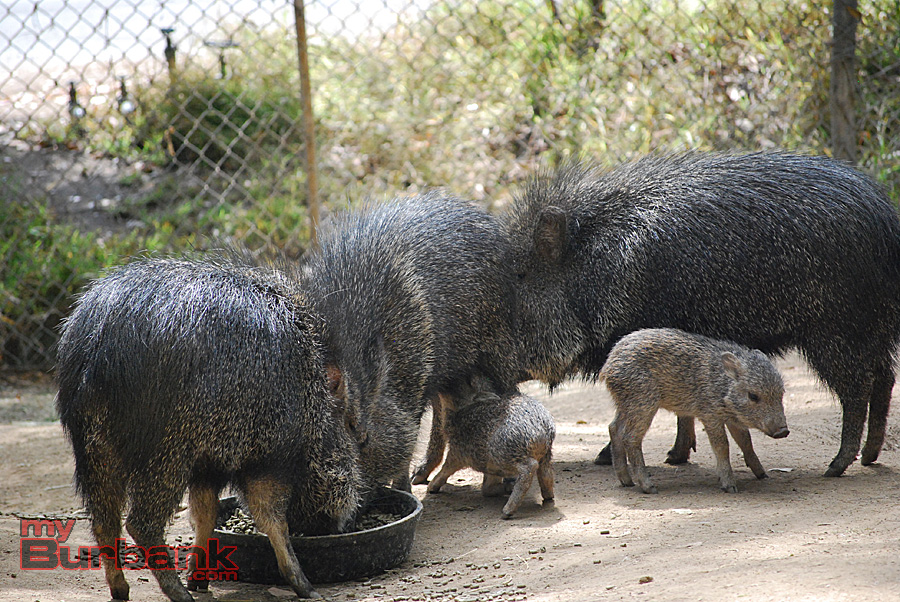 Wild peccaries of all ages eat at the L.A. Zoo. (Photo By Lisa Paredes)