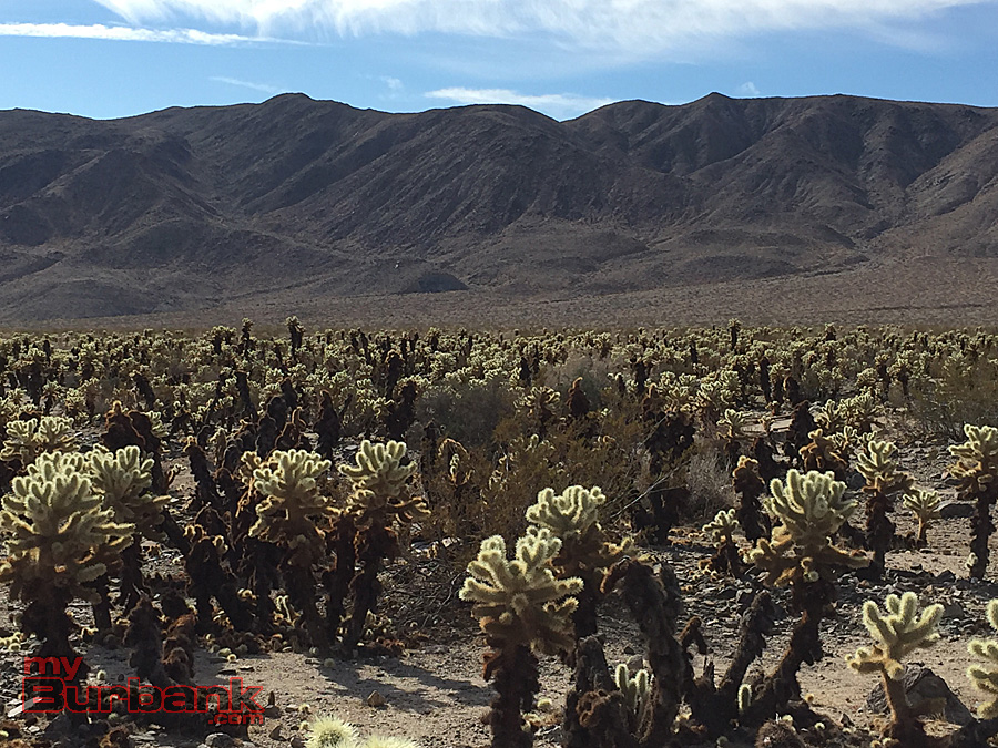 Cholla Cactus Garden,  Joshua Tree National Park. (Photo By Lisa Paredes)