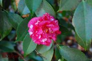 Camellia at Descanso Gardens. (Photo By Lisa Paredes)